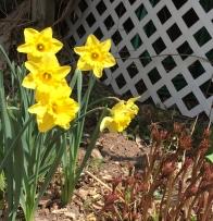 Daffies in bloom, peonies rising